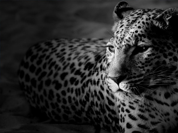 Animal Wallpapers Onca. Daniel Rodrigues Figueredo - Site Oficial. Animal, Photo, Photography, Picture, Image, Wallpaper, Wallpapers, Background.